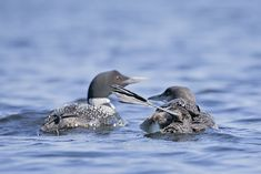 """#ChickPicotheDay! (Day 3,214) """"Dis be my mama, right, about, there."""" • • • • • #CommonLoon #Loon #JuvenileLoon #LoonsofInstagram #OntarioNorth #HastingsHighlands #KayakCameraGirl #HeatherCardlePhotographer Image Shows, Kayaking, Kayaks"""