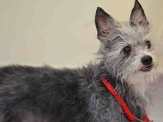 RETURN 10/14/16*** BLIND *** NO TIME --- RTO SAFE 04/06/15 --- SUPER URGENT 04/02/15 Manhattan Center DINO - A1031993 MALE, GRAY / WHITE, CHIHUAHUA SH / CAIRN TERRIER, 10 yrs OWNER SUR - EVALUATE, NO HOLD Reason LLORDPRIVA Intake condition EXAM REQ Intake Date 04/02/2015