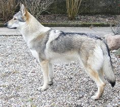 A wolfdog (also called a wolf–dog hybrid or wolf hybrid) is a canid hybrid resulting from the mating of a wolf (various Canis lupus subspecies) and a dog (Canis lupus familiaris). Animals Of The World, Animals And Pets, Cute Animals, Wild Animals, Baby Animals, Funny Animals, 15 Dogs, Dogs And Puppies, Doggies