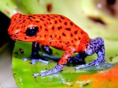 Oophaga pumilio : Dendrobate fraise, une grenouille de petite taille aux couleurs étonnaates.