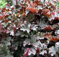 """Our Crimson Curls Heuchera isn't really """"green"""" though it IS considered an """"evergreen"""". The name should give you a clue as to its amazing color and the decorative nature of its foliage. This is a customer fave! Coral Bells Plant, Forever Green, Root System, Heuchera, Plant Sale, Flowers Perennials, Burgundy Color, Evergreen, Green Colors"""