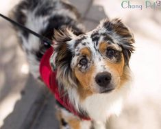 Is Your Australian Shepherd Driving You Crazy? Remove All The STRESS of Owning an Australian Shepherd: Dog Behaviour Breakthrough!!! - Australian Shepherd #australianshepherd #dog #doglovers #dogs #dogsofinstagram