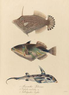 Monocanthus spilosoma, Balistes aculeatus, Callorhynchus smythii, Beechey's Voyage, 1820's