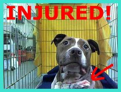 SAFE 01/24/15 (by Ready for Rescue) --- Manhattan Center   CANDY APPLE - A1025246   FEMALE, BROWN / WHITE, PIT BULL MIX, 2 yrs STRAY - STRAY WAIT, NO HOLD Reason STRAY  Intake condition INJ MINOR Intake Date 01/11/2015, From NY 10466, DueOut Date 01/14/2015, https://www.facebook.com/Urgentdeathrowdogs/photos/pb.152876678058553.-2207520000.1421101511./943450722334474/?type=3&theater