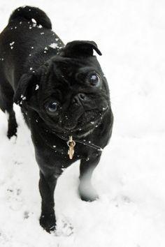 Little black Pug.