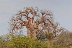 Baobab Tree - mapungubwe national park