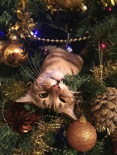 Funny Animals Christmas Kittens Ideas For 2019 Christmas Kitten, Christmas Animals, Christmas Humor, Cat Christmas Tree, Christmas Ornament, Christmas Holidays, Funny Dogs, Funny Animals, Cute Animals