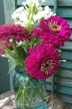 Benary's Giant Wine Zinnia Heirloom Zinnia Seeds Perfect For Market Gardens and Cut Flower Gardens