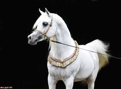 صور خيول رائعة,خيول عربية أصيلة,خيل عربى أصيل,خيول فى غاية الجمال,صورة خيل عربى,خيول