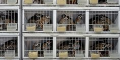 Game birds are kept in horrendously cruel cages in the UK before they are shot (9561 signatures on petition)