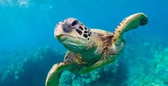 Help Save Sea Turtles from Extinction - Sea turtle populations are in freefall. The Pacific leatherback is destined for extinction. Others will follow suit if something isn't done about this soon. A major contributor to the problem is turtle hunting, which is brutally practiced in more than 40 countries and accounts for more than 100,000 deaths annually. ENOUGH!  PLZ Sign and Share!