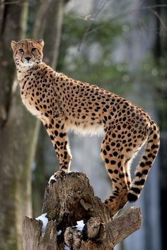 Cheetah. Photo by Steve Tracy Photography