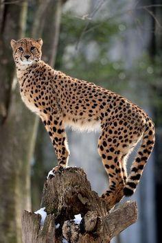 Cheetah. Photo by Steve Tracy Photography