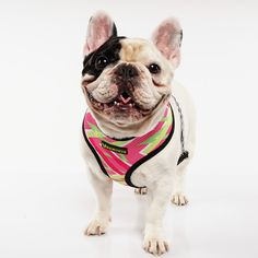 Frenchie Reversible Harness + Collar + Leash Set - Limited Edition FUT - FRENCHIE BULLDOG