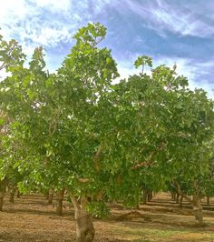 Dramatic foliage development. Pistachio trees benefitting greatly from rain, ARO Pistachios.