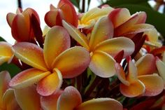 Plumerias--Best flower for a lei. I discovered these in Hawaii and they don't seem real. Clearly, I'm not a very well-traveled person. Plumeria Tree, Plumeria Flowers, Wonderful Flowers, Real Flowers, Pretty Flowers, Hawaiin Flowers, Luau Wedding, Wedding Cake, Hawaiian Luau