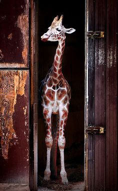 Giraffe! Color of the barn is amazing