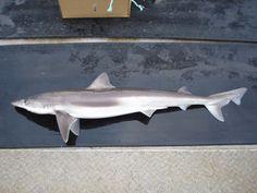 Galeorhinus galeus Tope Shark Family, Marine Fish, Google Search
