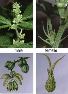Marijuana plants can be males, females or hermaphrodites (both sexes in the same plant). Female plants produce buds, the richest part of the plant in THC. If we grow cannabis to be self sufficient, it is specially important to determine the sex of our plants and detect the males as soon as possible, since pollinated plants produce little THC. In this post we will show you how to distinguish between male and female marijuana plants.