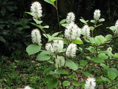 One of the reasons Fothergilla shrubs are so popular amongst gardeners is because they are so low maintenance and beautiful. Read here for information on growing these plants.