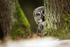 """The Great Grey Owl: """"Surreptitiously Observing...""""    (Photo By: Jiří Míchal.)"""