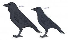 how to draw ravens step 1