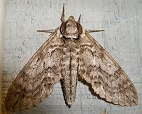 catalpa sphinx moth - Bing Images