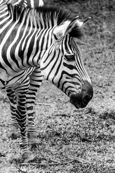 #Zebra taken from #UWEC #Entebbe #zoo in #Entebbe #Uganda