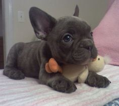 Blue French Bulldog Puppy. I want!