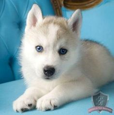 Blue-eyed husky puppy <3