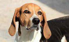 Virginia's official state dog, the American Foxhound was developed in Maryland and Virginia from scenthounds brought by Marquis de Lafayette to George Washington. Best Family Dog Breeds, Best Small Dog Breeds, Best Small Dogs, Dog Breeds That Dont Shed, Popular Dog Breeds, Family Dogs, Best Dogs, Rare Dogs, Rare Dog Breeds