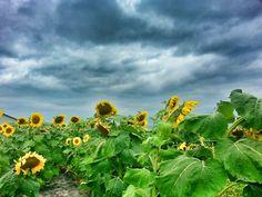 Sunflowers Roseau MN