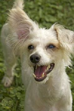 Photo Gallery: Cleveland ❤ Chinese Crested Powder Puff, Cleveland, Photo Galleries, Gallery, Dogs, Animals, Animales, Roof Rack, Animaux