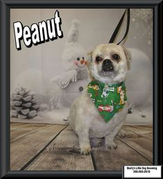 Peanut! :)  #BichonShihtzu Small Breed, Little Dogs, Dog Grooming, Shih Tzu, Own Home, French Bulldog, Your Dog, Animals, Little Puppies