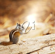 """Buy the royalty-free Stock image """"Chipmunk"""" online ✓ All image rights included ✓ High resolution picture for print, web & Social Media High Resolution Picture, Chipmunks, Royalty Free Photos, Cool Pictures, Stock Photos, Animals, Brown, Nature, Animales"""