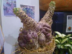 Giant rutabaga by Ashley Cross, via Flickr