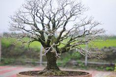 AMAZING bonsai tree by Hsiu Yang