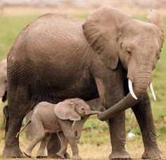 Watch these 21 Glorious Moms Of The Animal Kingdom that prove a mother's love has no boundaries and a mom will forever take care of her young Mom And Baby Elephant, Elephant Love, Elephant Family, Newborn Elephant, Elephant Facts, Funny Elephant, Happy Elephant, Cute Baby Animals, Animals And Pets