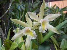 2 of 6 blooms on BLC. Hallifordii