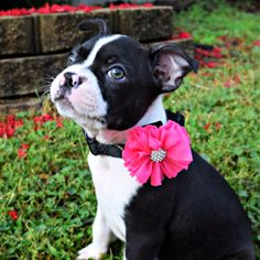 Your pet will be photo ready in this cute pink bow with a sparkly rhinestone center from ElegancebyElesha. Best of all it comes in a set of two, so you can choose more than one color! Click the link below to see your options. Shop NowElegancebyElesha