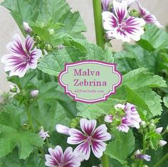 How to grow Malva Zebrina - perennial, blooms first year, 3-4 feet, easy care, attracts bees, butterflies and hummingbirds.