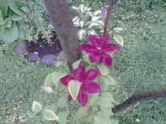 kärhö omenapuussa