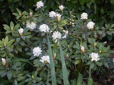 "Rododendron ""Virginia Richard"""