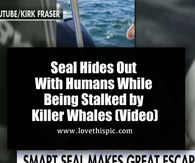 Seal Hides Out With Humans While Being Stalked by Killer Whales (Video)