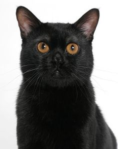 The Bombay is calm, gentle and affectionate. This solid, medium-size cat was created in the 1950s by crossing sable Burmese with black American Shorthairs. His short, velvety coat is easy to care for.