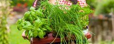 #Kraeuter pflanzen im Frühling: Welche Kräuter kann man nebeneinander pflanzen? Nicht alle Kräuter sind gesellige Pflanzen. Einige mögen keine direkte Nachbarschaft und sollen lieber in einem einzelnen Topf oder im Beet mit ausreichend Abstand zum nächsten Kraut gepflanzt werden. Zu diesen Einzelgängern gehören: #Liebstoeckel - macht sich sehr breit und nimmt anderen Pflanzen schnell Licht und Platz weg #Melisse - wächst schnell und braucht viel Platz #Salbei - wächst wie Melisse schnell und…