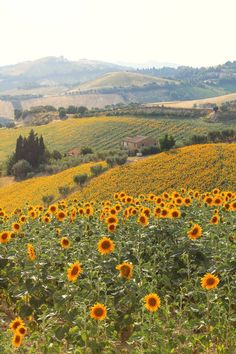 Original Landscape Photography by Emanuela Teaca | Documentary Art on Paper | Sunflowers field - Limited Edition 1 of 3