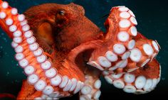 thinx — Images from the Giant Pacific Octopus exhibit at...