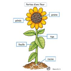 Les plantes - Science and Nature Montessori Science, Primary Science, Preschool Science, Teaching Science, Science For Kids, Science Activities, Science Projects, Science And Nature, Science Party