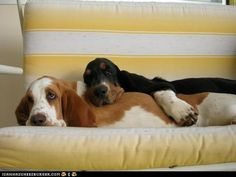 THIS, Is Some Basset Hound Love!  ^_-